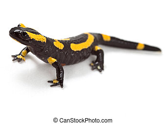 fire salamander bright colored amphibian and poisonous animal with warning colors terrestrial newt salamandra