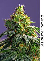 (fire, ruisseau, cannabis, cheveux, strain), marijuana, tard, visible, fleurir, kola, feuilles, étape