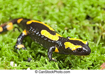 fire salamander bright colored amphibian and poisonous...