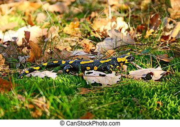 fire salamander in a green grass