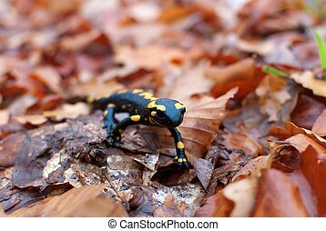fire salamander in green grass