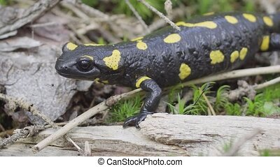 Fire salamander - Salamandra salamandra. Black animal with yellow spots. Ukraine, Carpathians