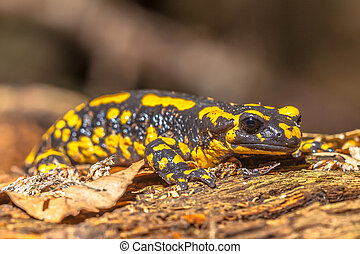 Fire Salamander (Salamandra Salamandra) in Natural Habitat