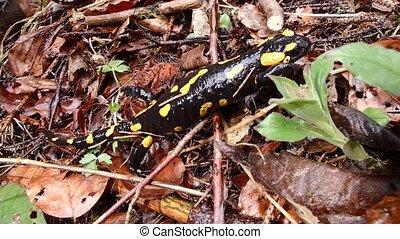 fire salamander, (Salamandra salamandra)