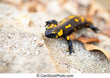 Fire salamander sitting on sand in autumn nature.