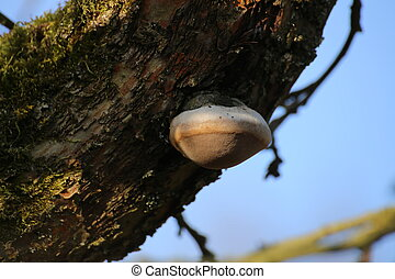 Fire sponge (Phellinus igniarius) growing on an apple tree.