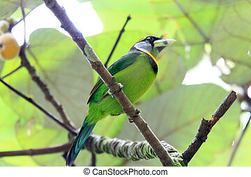 fire-tufted, barbet