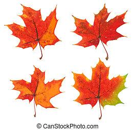 fire, varianterne, i, den, samme, ahorn blad