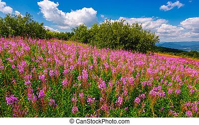 fire weed meadow in mountains. beautiful purple flowers on...