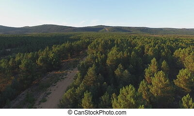 Firebreak in the middle of pine tree forest, aerial view