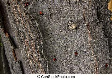 Firebugs on a tree bark