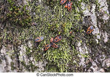 Firebugs on moss