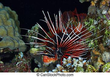 firefish, radial, nuit