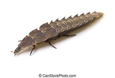 Firefly Larva - Firefly larvae isolated on a white...