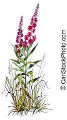 Fireweed - Epilobium angustifolium