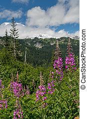 fireweed, flor, en, montañas