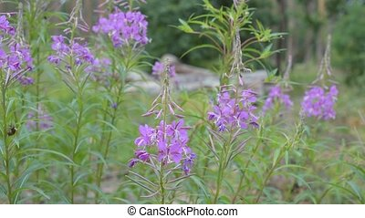 Fireweed flowers in a forest. Chamerion angustifolium