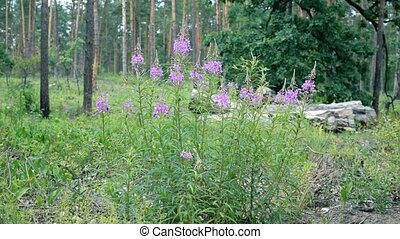 Fireweed flowers in a forest