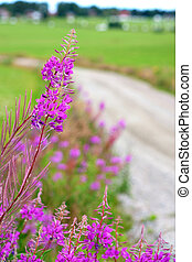 fireweed in scandinavian summer landscape