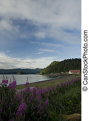 Skidegate waterfront - fireweed on Skidegate waterfront....