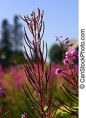 Fireweed Stems