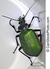 Firey Searcher Ground Beetle - Calosoma scrutator