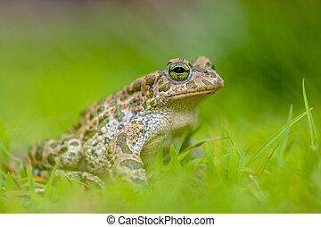 Firm Green toad in bright green Grass - Green toad (Bufotes...