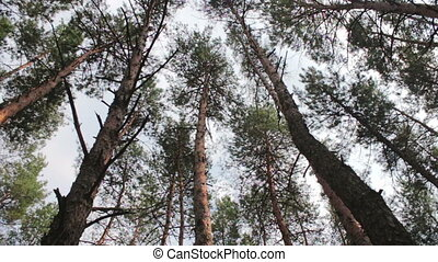Firs in the pine forest.