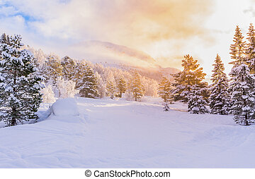 firs with sunrise, winter