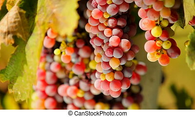 First-class grapes - Beautiful grapes grown for the...