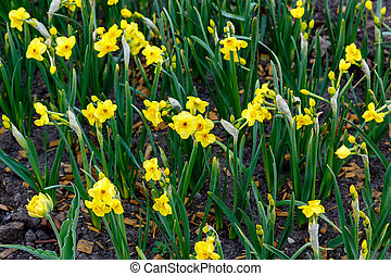 first daffodils in the flower bed