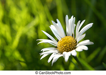 First daisy horizontal