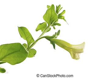 first flower of petunia pendula isolated over white background, design element for border of a page