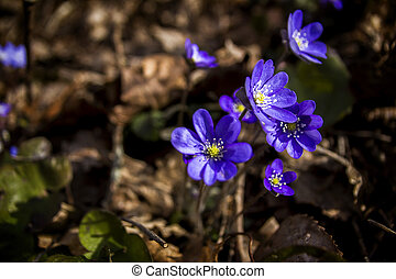 First fresh blue violets in the forest