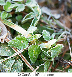 first frost on green leaves of nettle in autumn