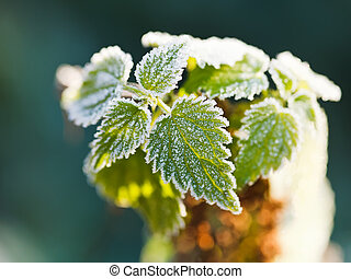 first frost on green nettle leaves in autumn