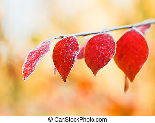 first frost on red leaves in autumn