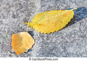first frosts and fallen birch leaves