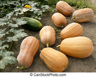 first harvested pumpkins