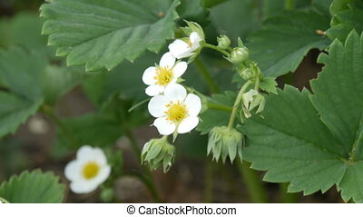 First small white strawberry flowers in the garden. Bush...