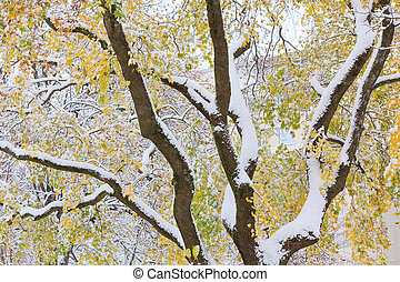 First snow and autumn leaves