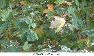 First snow falling on maple leaves in autumn