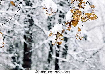 first snow in november. snow covered yellow leaves of oak tree branch.