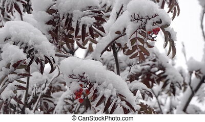 First snow in October - Snow falls from branches and leaves...