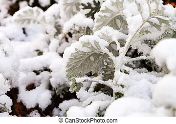 first snow on dusty miller plant in autumn