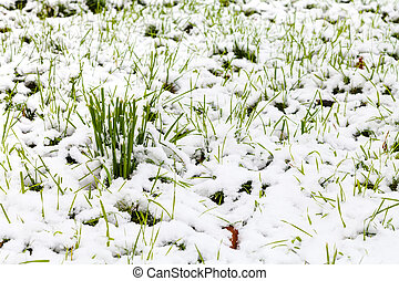 first snow on green lawn in autumn