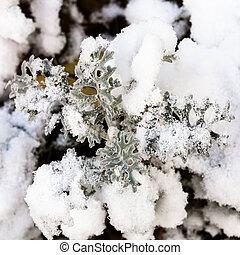 first snow on jacobaea maritima plant in autumn