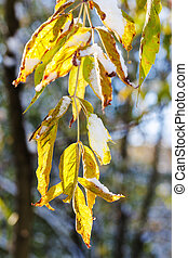 first snow on leaves illuminated by autumn sun