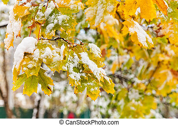 first snow on yellow leaves of maple tree
