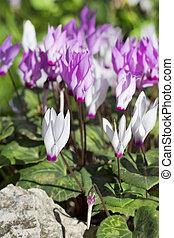 first spring cyclamen